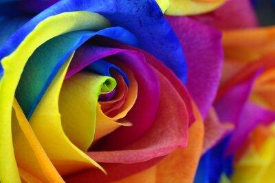 Obraz Duha růže, nebo šťastný květina