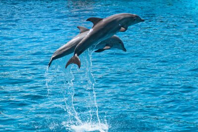 Obraz Dva delfíni skok nad modrou vodou