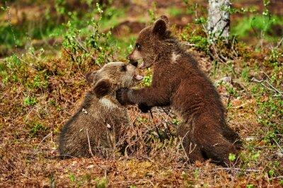 Obraz Dvě hnědé medvíďata