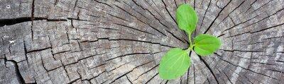 Obraz Ekologická koncepce. Rostoucí výhonka plantain ze starého dřeva a symbolizuje boj o nový život, hraniční design panoramatický prapor.