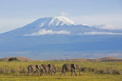 Obraz Elefanten mit Kilimandscharo