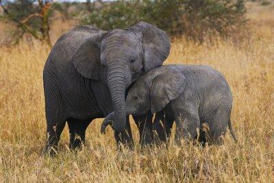 Obraz Elephant bratři