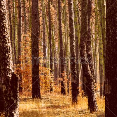 Obraz fantastické zlaté podzimy v borovém lese jasně oranžové rostliny kmeny vysokých stromů čisté a nikdo kolem krás našeho světa