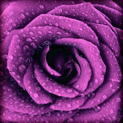 Obraz Fialová tmavá růže pozadí