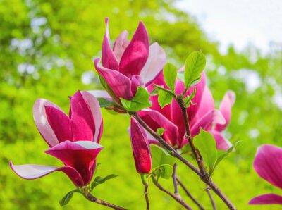 Obraz Fialový magnolie květina na větvi pozadí