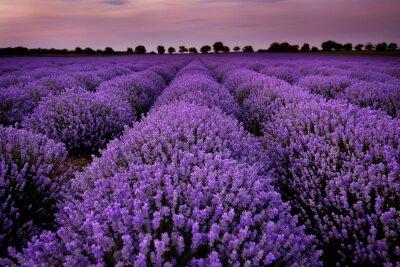 Obraz Fields of Lavender at sunset