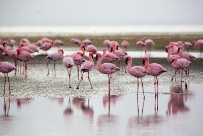 Obraz Flamingos in Wallis Bay, Namibia, Africa