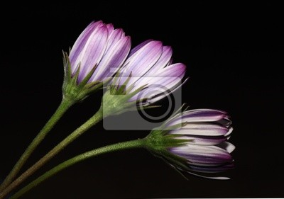 Obraz Flores fondo negro