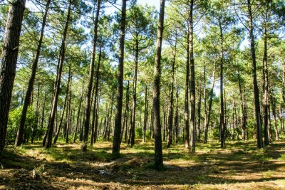Obraz Forêt landaise