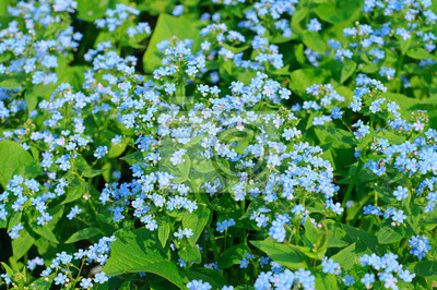 Forget-me-not květiny