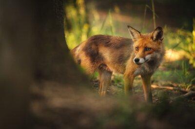 Obraz Fox na letní lesa
