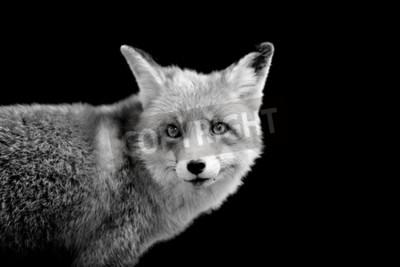 Obraz Fox na tmavém pozadí. Černý a bílý obraz
