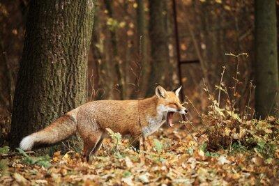 Obraz Fox podzimního lesa