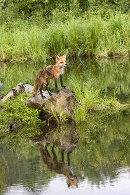 Obraz Fox s odrazem v klidné jezero