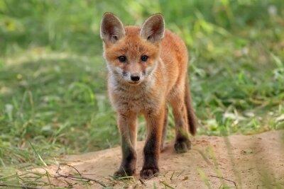 Obraz Fox v divoký