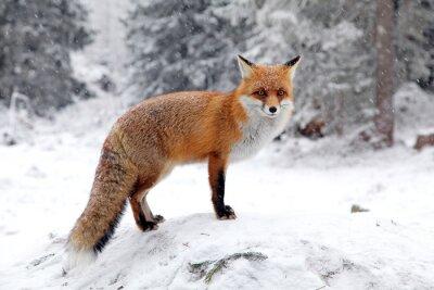 Obraz Fox v lese na Vysoké Tatry, Slovensko
