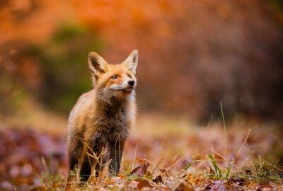 Obraz Fox (Vulpes vulpes) v Evropě lese