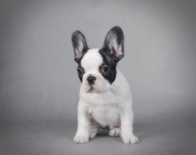 Obraz Francouzský buldoček štěně