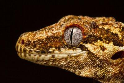 Obraz Gargoyle Gecko (Rhacodactylus auriculatus) v profilu