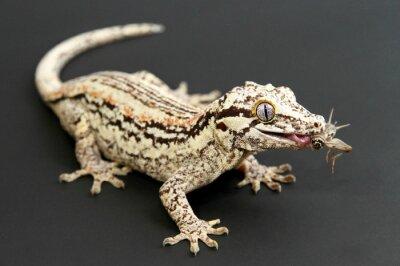 Obraz Gargoyle Gecko stravování