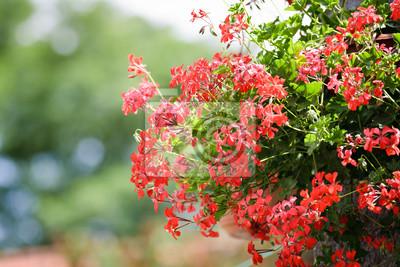 Geranium květ visí v zahradě