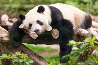 Obraz Giant Panda