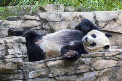 Obraz Giant panda bear napping at the National Zoo in Washington, DC.