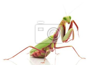 Obraz Giant Rainforest Mantis