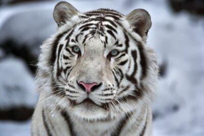 Obraz Glamour portrét mladého bílého bengálského tygra