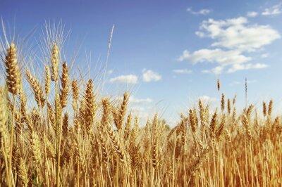 Obraz Golden pšeničné pole