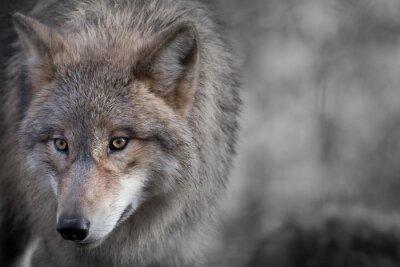 Obraz Grauer Vlk portrét 4