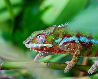 Obraz Green chameleon
