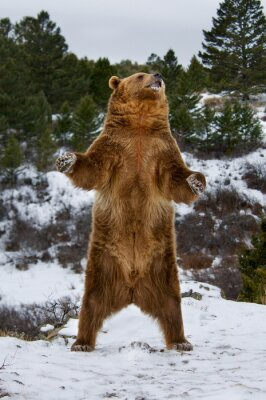 Obraz Grizzly