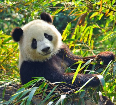 Obraz Hladový obří panda bear jíst bambus