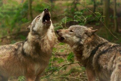 Obraz Howling vlky