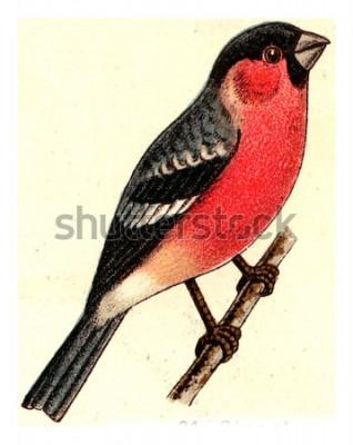 Obraz Hýl, vintage vyryto ilustrace. Od Atlasu ptáků Evropy Deutch.