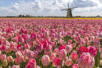 Obraz Iconic holandské tulipány žárovky farma na jaře v Amsterdamu
