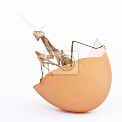 Obraz insecto en un huevo