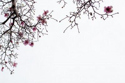 Obraz Japonské Magnolia květy na bílém pozadí
