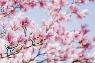 Obraz Jarní! Kvetoucí Magnolia