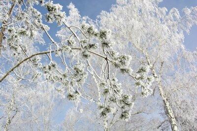 Obraz Jedle větev stromu v zimním lese