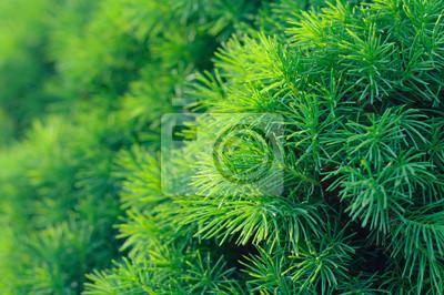 Jehličnan strom na pozadí