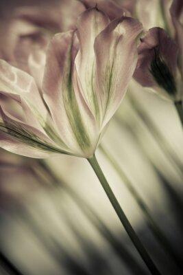 Obraz Jemné umění v blízkosti-up tulipánů, rozmazané a ostré