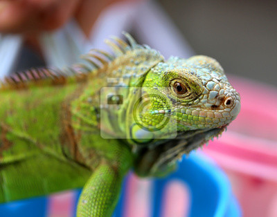 Obraz ještěrka zelená iguana