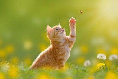 Obraz Junge Katze/Kätzchen jagd einen Marienkäfer