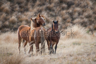 Obraz Kaimanawa divoké koně s ušima nahoru