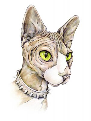 Obraz Kanadský sfinga v límci s trny. Nahá kočka na bílém pozadí. akvarel kreslení