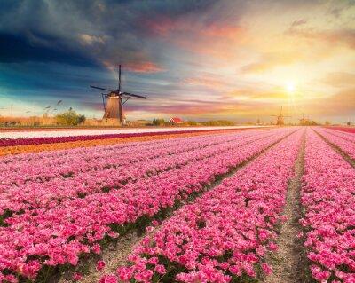 Obraz Krajina s tulipány, tradiční holandské větrné mlýny a domy u kanálu v Zaanse Schans, Nizozemsko, Evropa