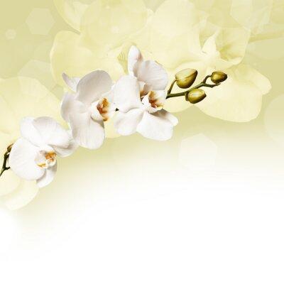 Obraz Krásná bílá orchidej