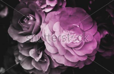 Obraz Krásná růže květ kvetoucí květ. Fotografie líčí jemné světlé divoké růže květ keře. Zblízka, zobrazení makra. Černý a bílý